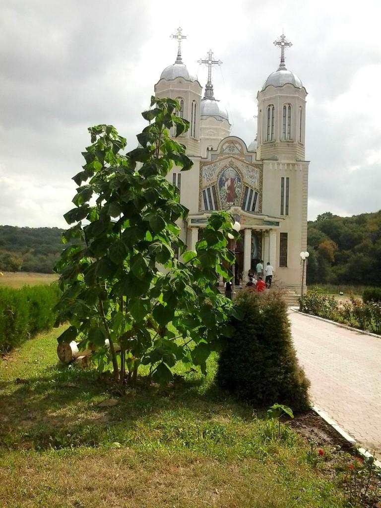 Paulownia în România. Planta a ajuns la dimensiunile din imagine în trei luni: Iunie - August 2012